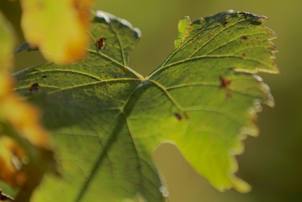 vigne-bordeaux